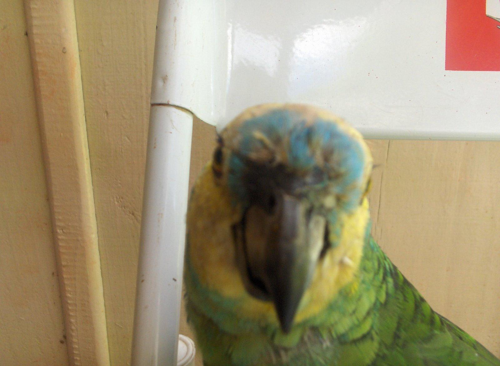 Dino: o Papagaio