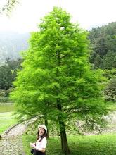 明池的一棵美麗的落羽松,瞧這翠綠真是無與倫比!