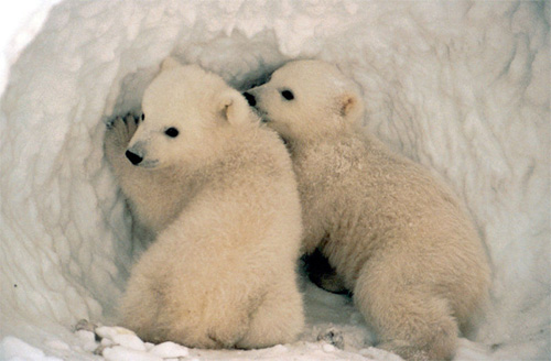 polar bear cub twins