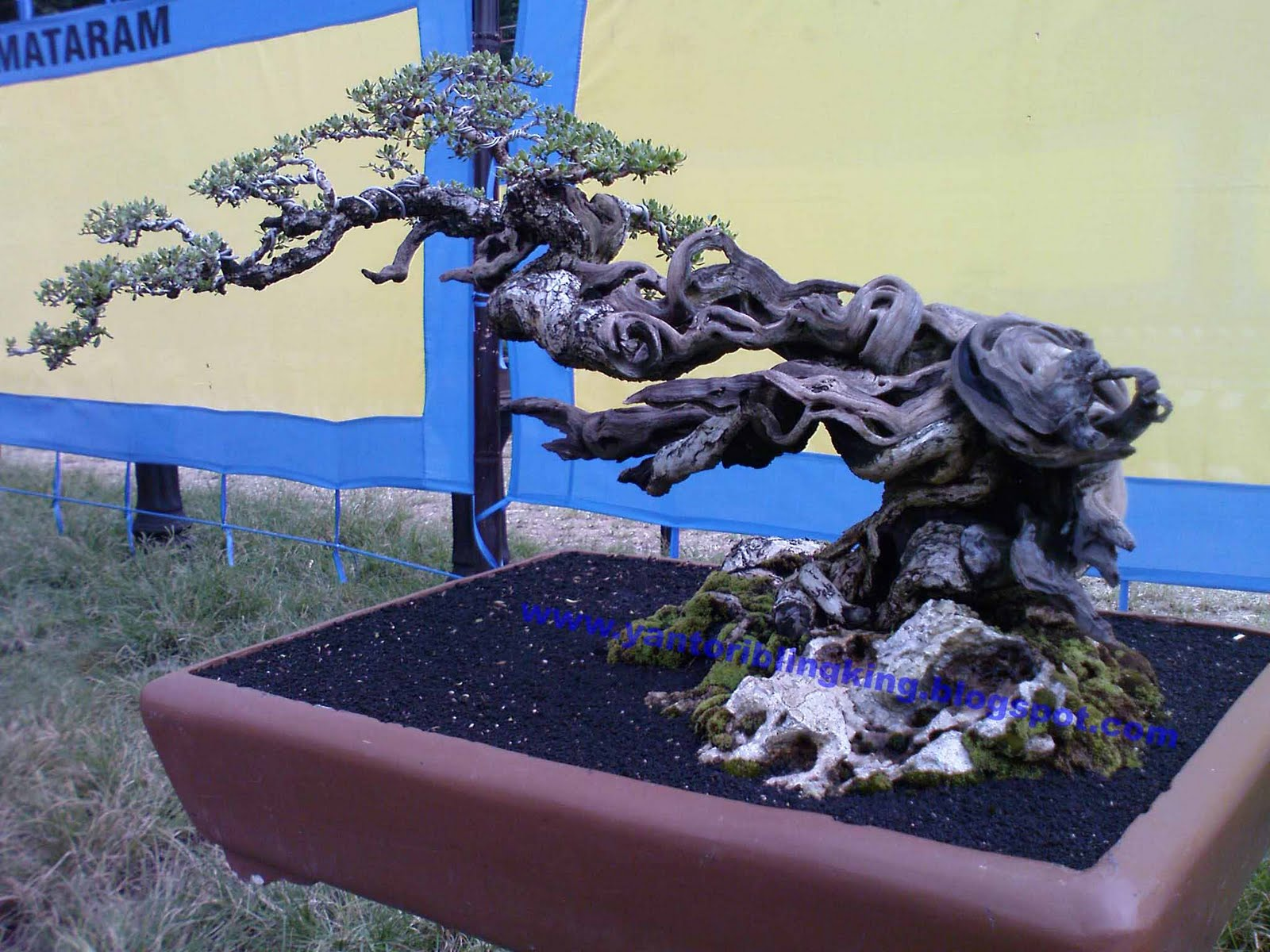 Journey To The Eastquot Bonsai Indonesia