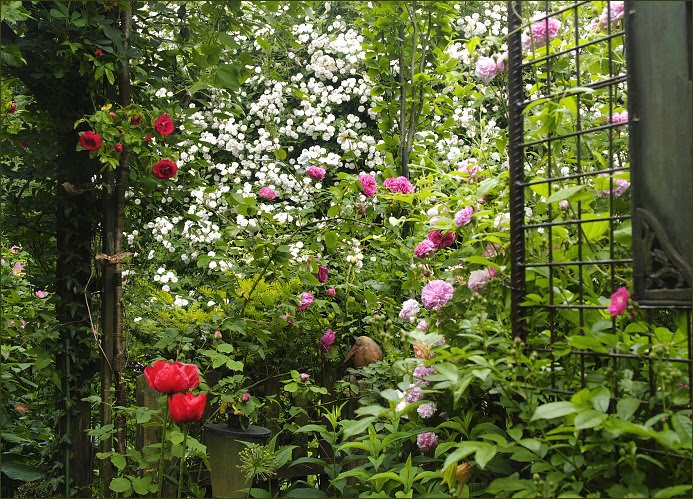 meine gr ne leidenschaft beginn der rosenbl te. Black Bedroom Furniture Sets. Home Design Ideas
