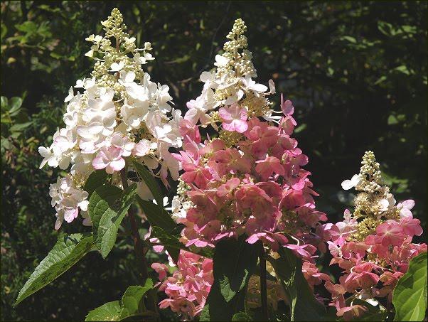 hydrangea paniculata die rispenhortensie 39 pinky winky 39. Black Bedroom Furniture Sets. Home Design Ideas