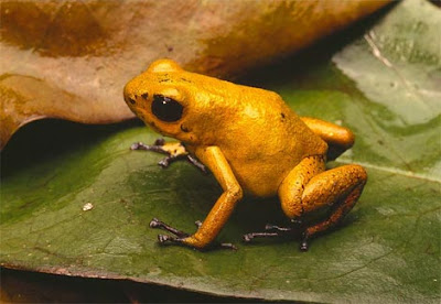 بعض انواع الضفادع الســـــــــــامة Poison-dart-frog