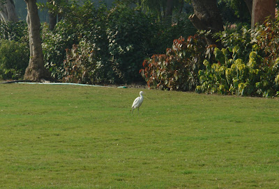 Bird walking across a lawn