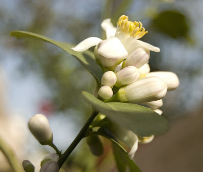 Flowers on a lemon tree