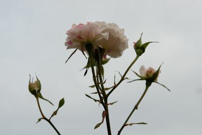 Rose straining against sky