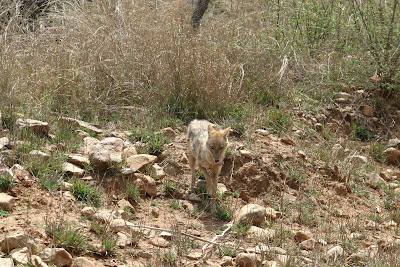 A fox in Sariska