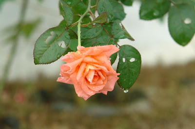 An orange rose after rain