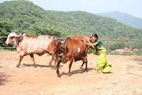 Ratan Rajput aka Laali of Zee TV's 'Agle Janam Mohe Bitiya Hi Kijo' fighting with bulls as part of a shot