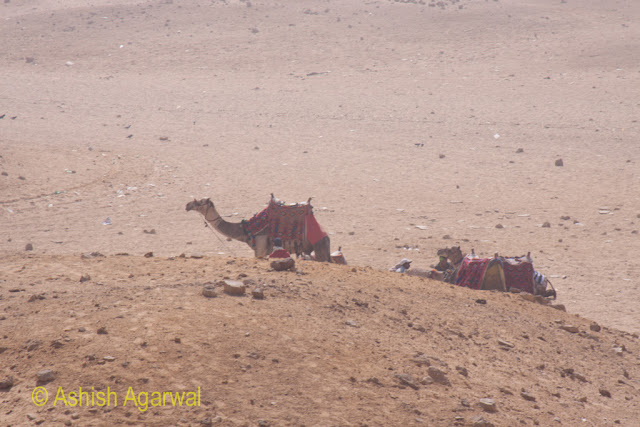Closer view of camels, with tourists just about to climb on, at the base of a hillock right next to the Great Pyramid