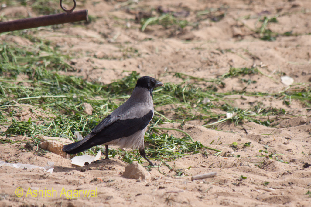 A crow on the sand near the Great Pyramids in Giza