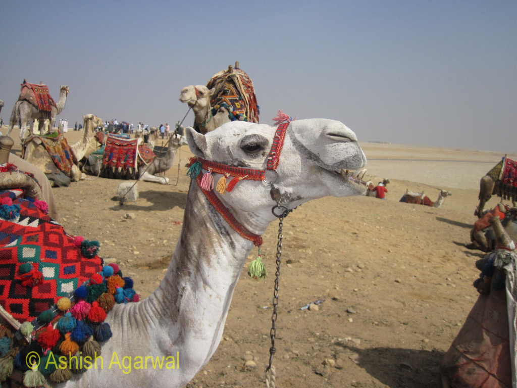 A camel bares its teeth, seen at the Panorama Point in Giza