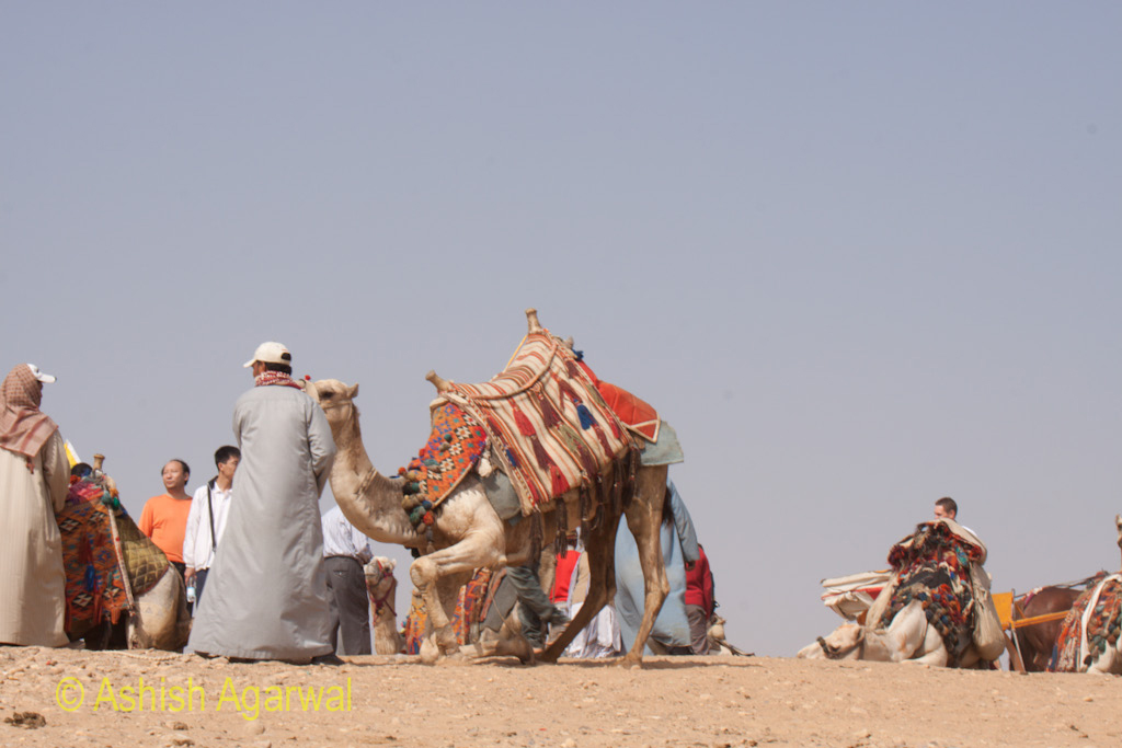 Getting a camel to its feet at the Panorama Point in Giza