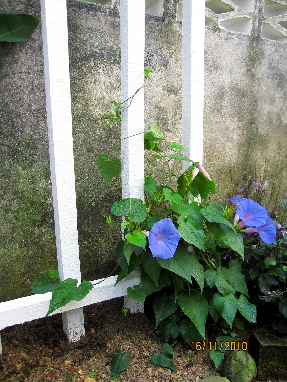 how to train morningglory to climb the fence