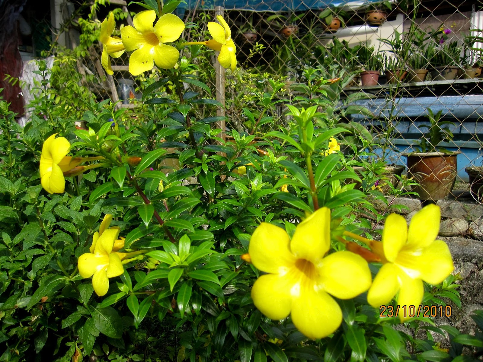 Plants in my garden part ii this and thatw and then i have three types of allamanda all are with yellow flowers the only different i noticed is the leaves and the size of the flower mightylinksfo