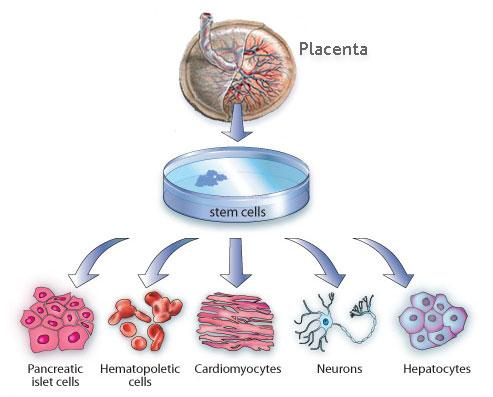 Placental stem cells are pluripotent, just like the cells harvested from a ...