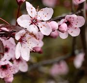 . le plaisir : les premières fleurs du Nepeta 'Six Hills Giant' qui va .