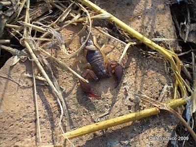 Escorpión del Monte Testaccio, Roma