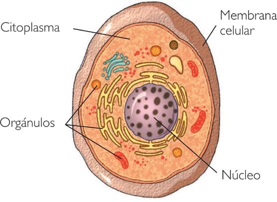 celula animal y sus partes. diferencia entre celula animal