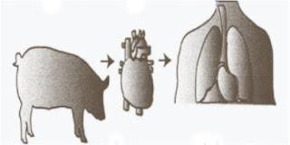 Cultivar órganos humanos en cerdos - Bolivia informa