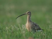 Adult Eurasian Curlew at Wels airport