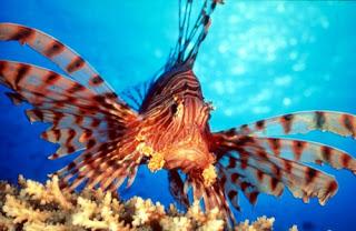 احلى صور للبحر الاحمر والغطس Lion-fish