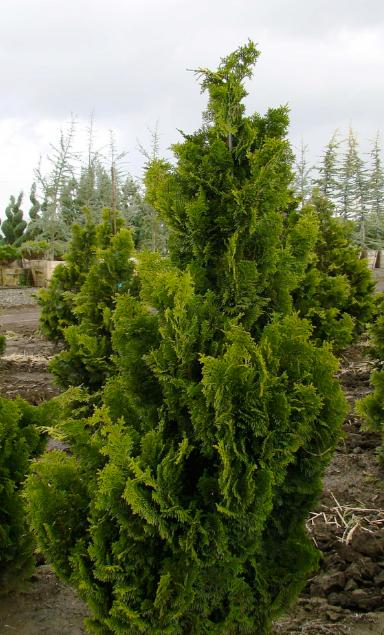 Tree identification chamaecyparis obtusa hinoki cypress for Small slow growing evergreen trees