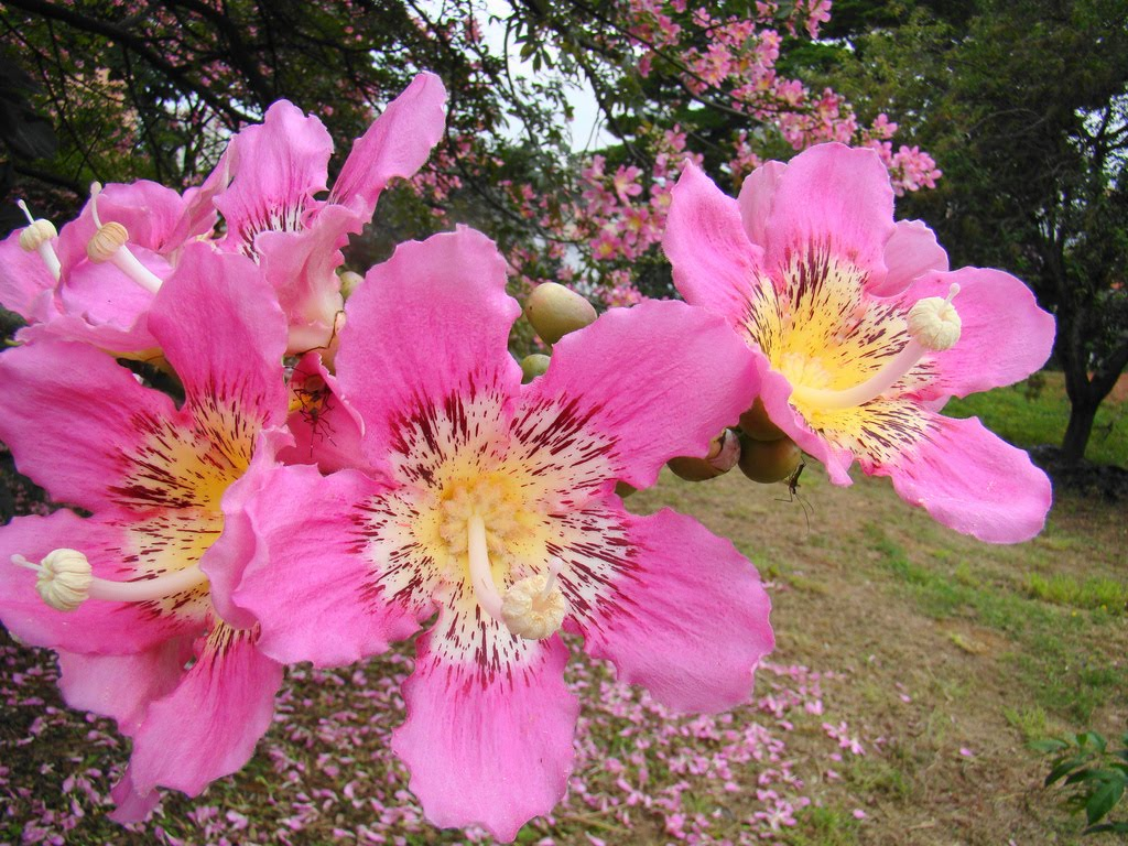 Tree identification april 2010 deep pink to burgundy large up to 8 x 5 flowers in fall flowers resembled a narrow petaled hibiscus mightylinksfo