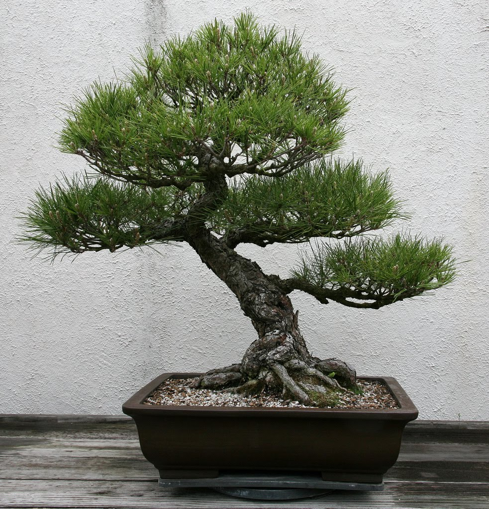 Tree Identification Pinus Thunbergii Japanese Black Pine