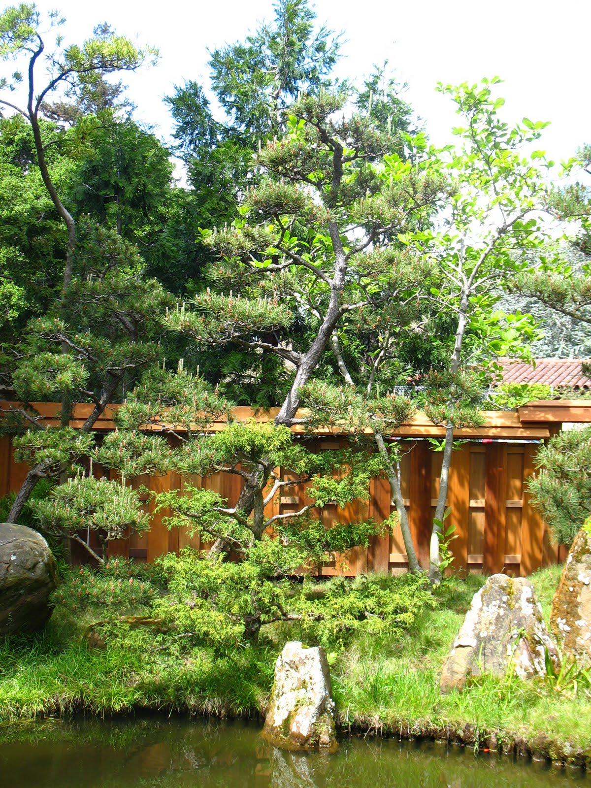 Tree Identification Pinus Thunbergii Japanese Black Pine
