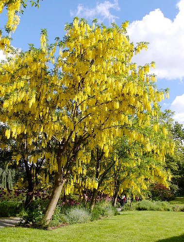 Tree identification laburnum x watereri golden chain tree cultivated hybrid between l anagyroides and l alpinum mightylinksfo