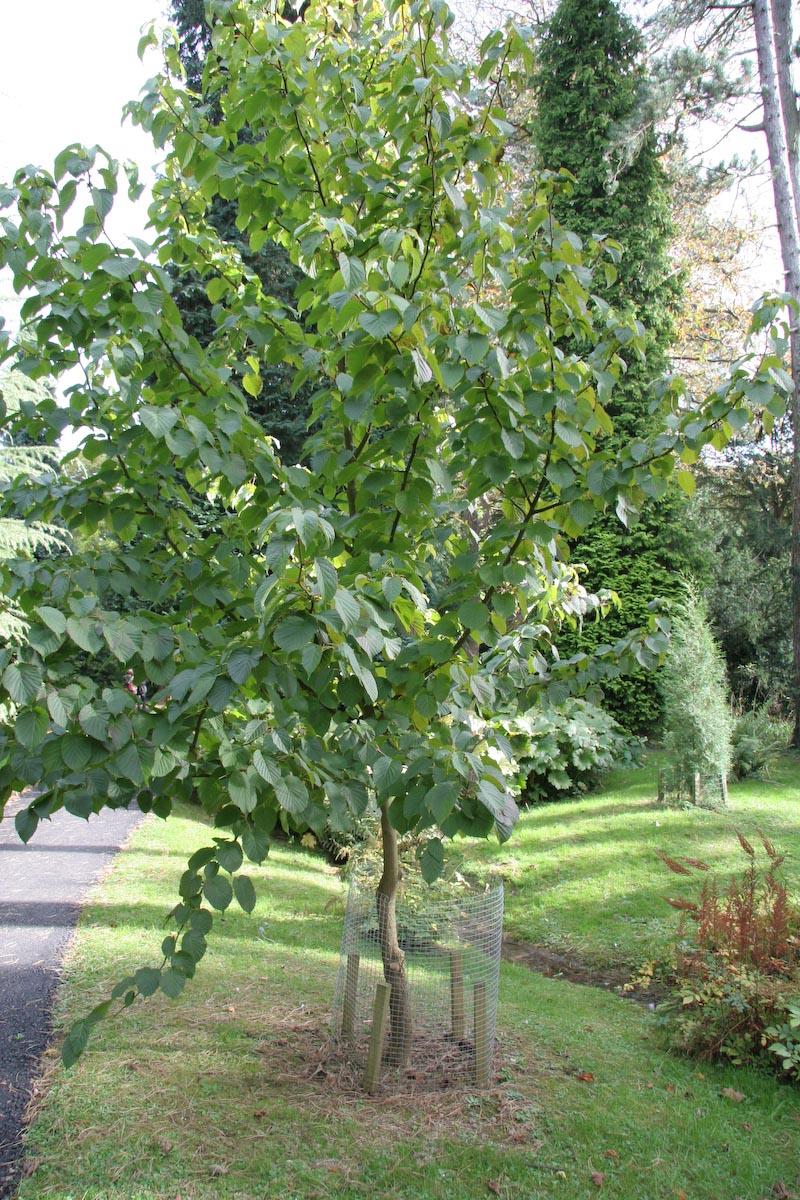 Tree Identification: Davidia involucrata - Dove Tree, or ...
