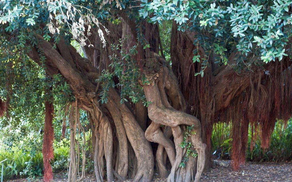 Tree Identification Metrosideros Excelsa New Zealand Christmas Tree