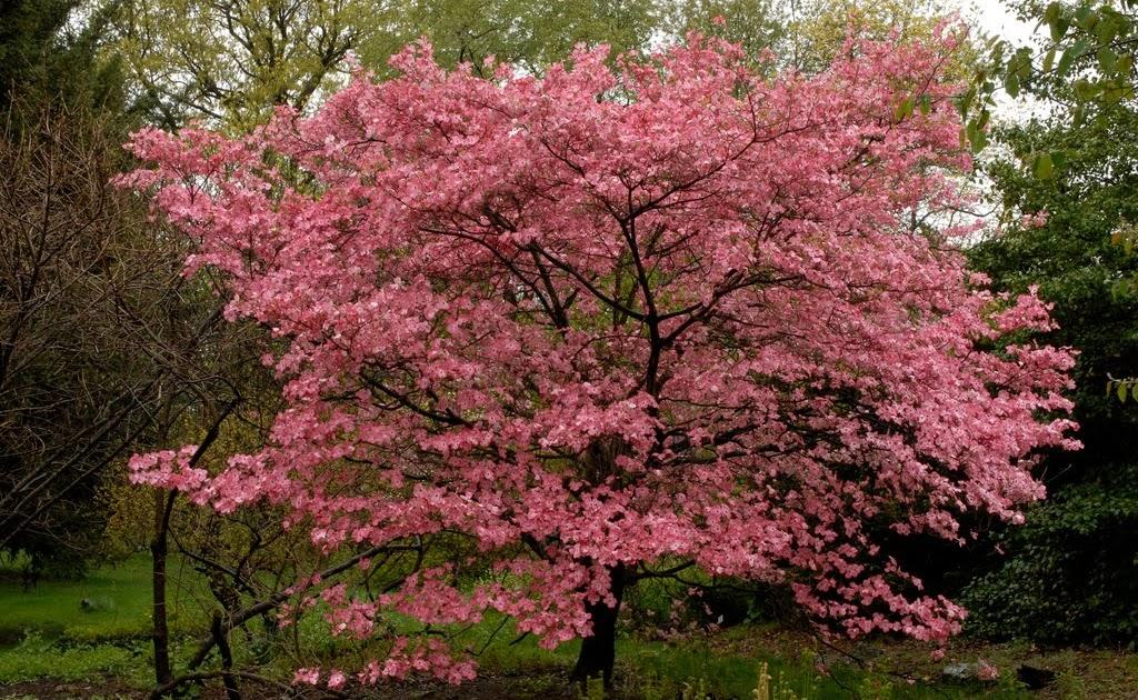 tree identification cornus florida flowering dogwood. Black Bedroom Furniture Sets. Home Design Ideas