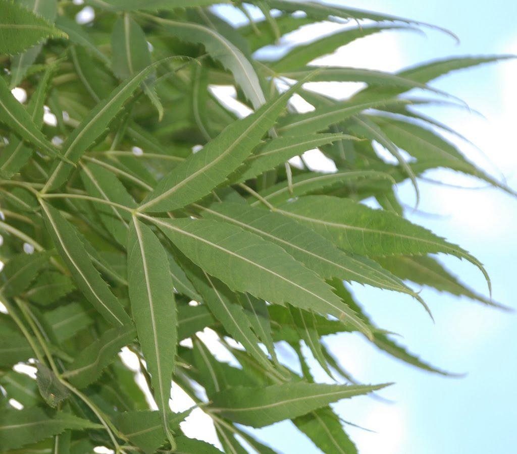 Fraxinus Angustifolia Oxycarpa Raywood besides Americana as well Birch besides Honeylocust additionally Identifyingashtrees. on ash tree identification