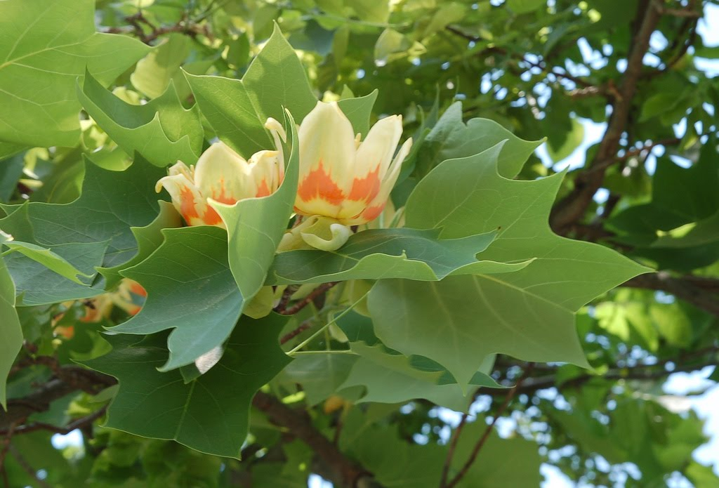 Tree identification april 2010 liriodendron tulipifera tulip tree mightylinksfo