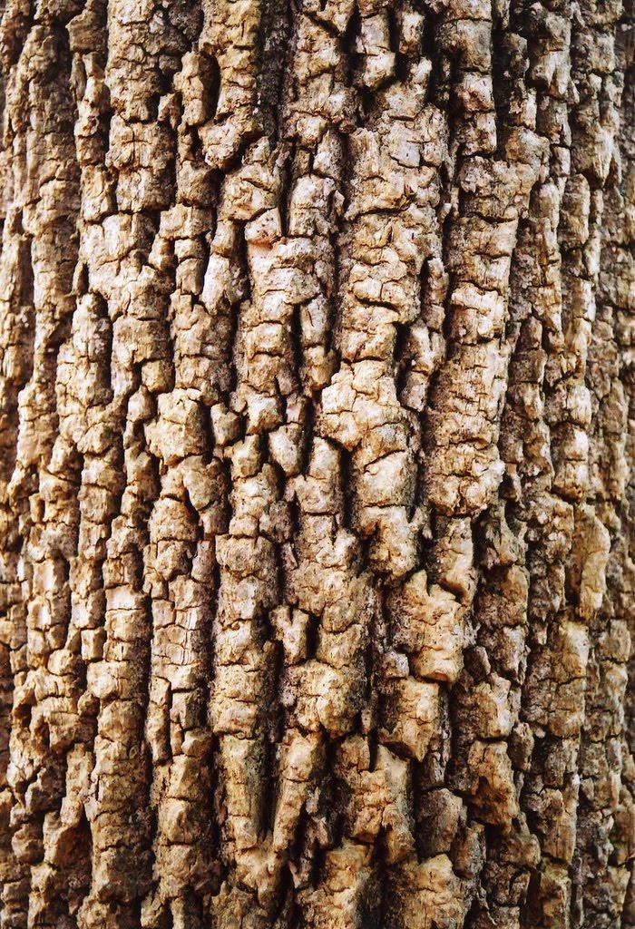 cherry tree bark. cherry tree bark