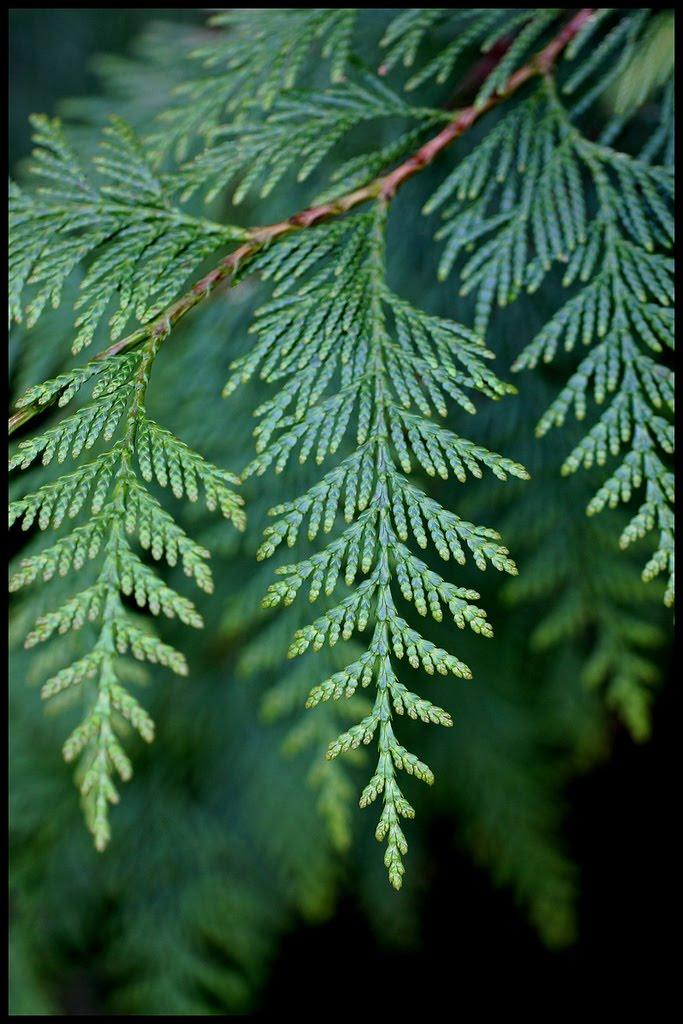 Tree identification thuja plicata western redcedar