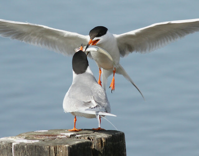 Forsters Tern Courtship Feeding
