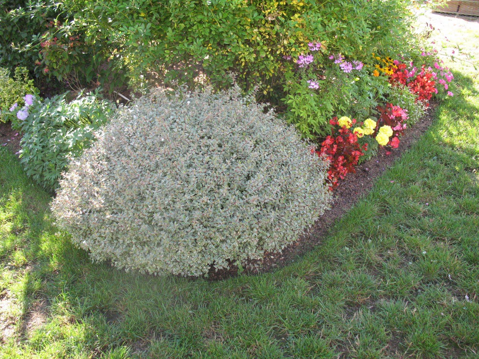 roses du jardin ch neland ab lia x grandiflora panache. Black Bedroom Furniture Sets. Home Design Ideas