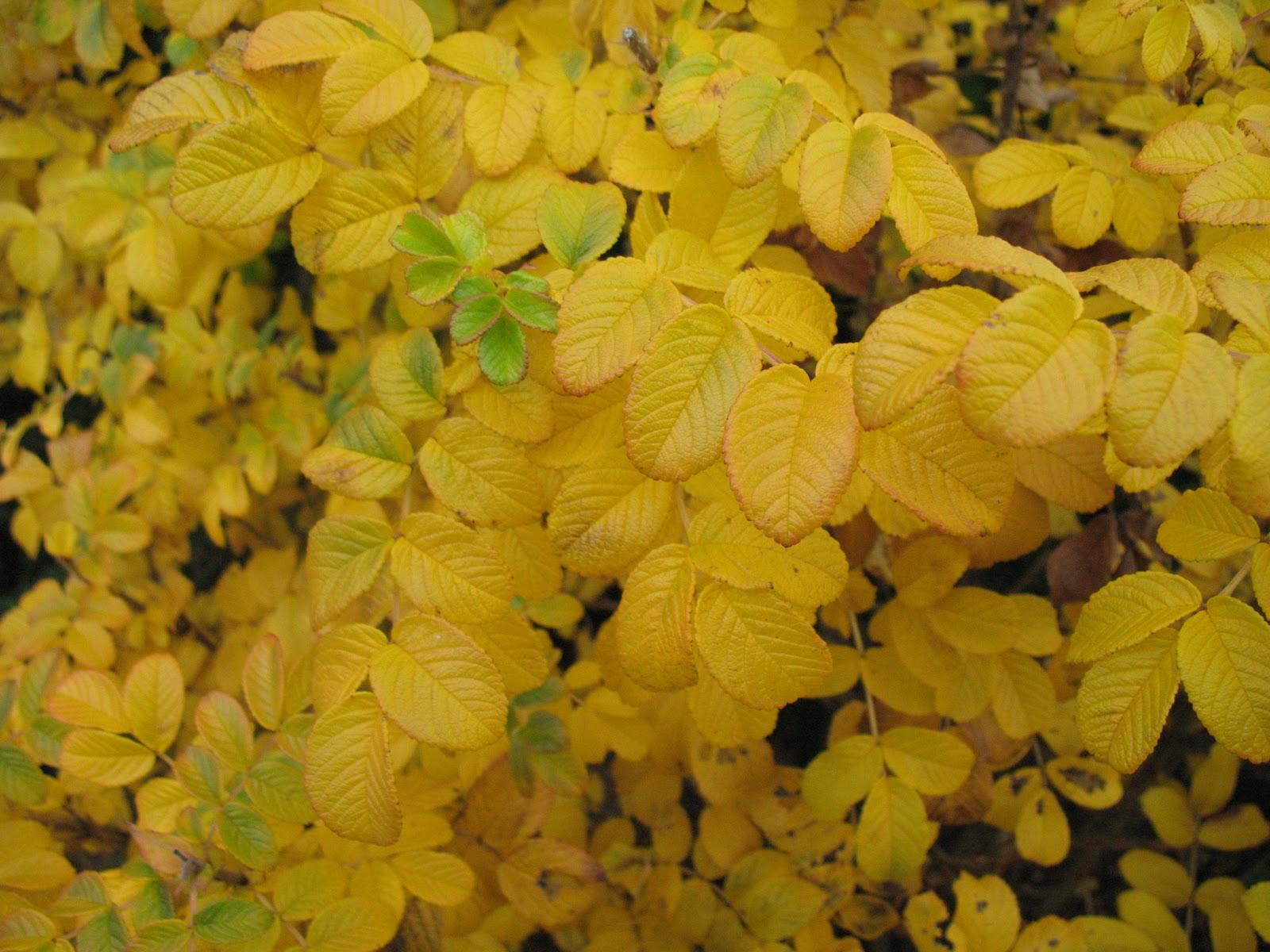 Roses du jardin ch neland de l 39 or en feuilles dans le jardin - Feuilles de rosier qui jaunissent ...