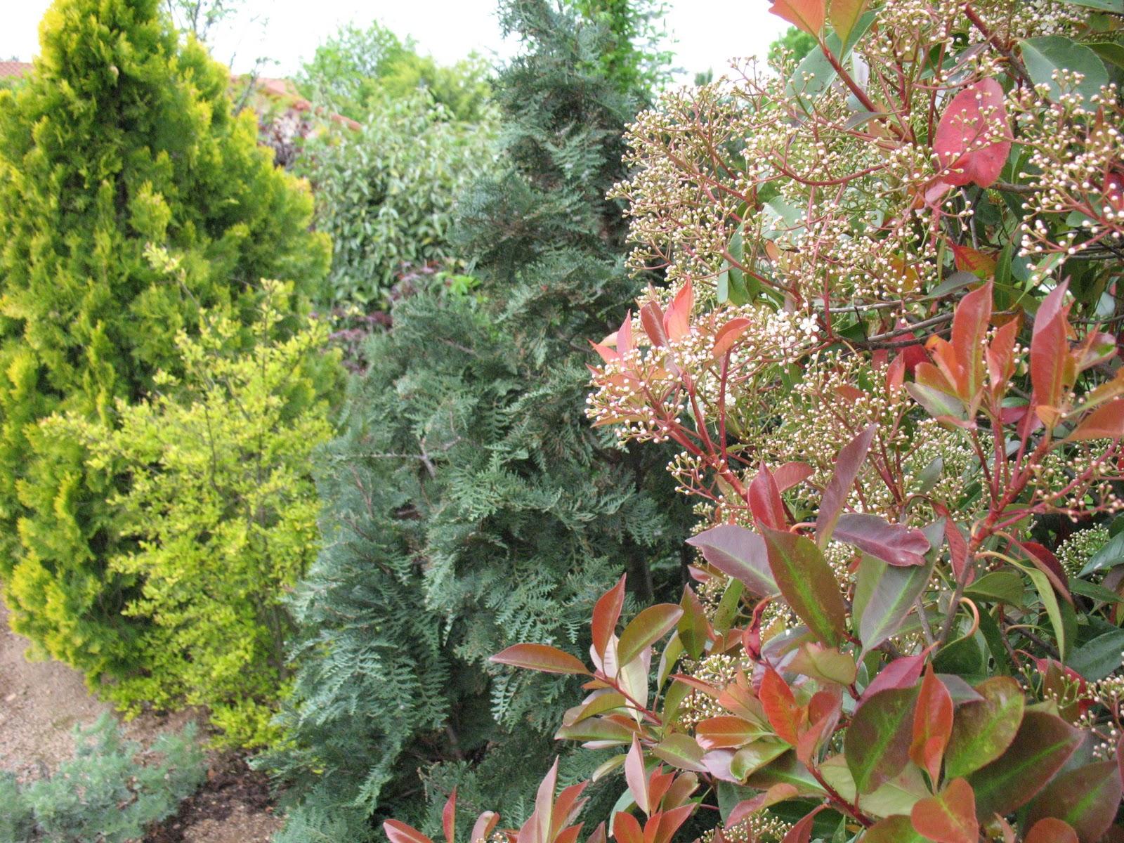 "Roses du jardin Chêneland: Thuja orientalis ""Pyramidalis ..."