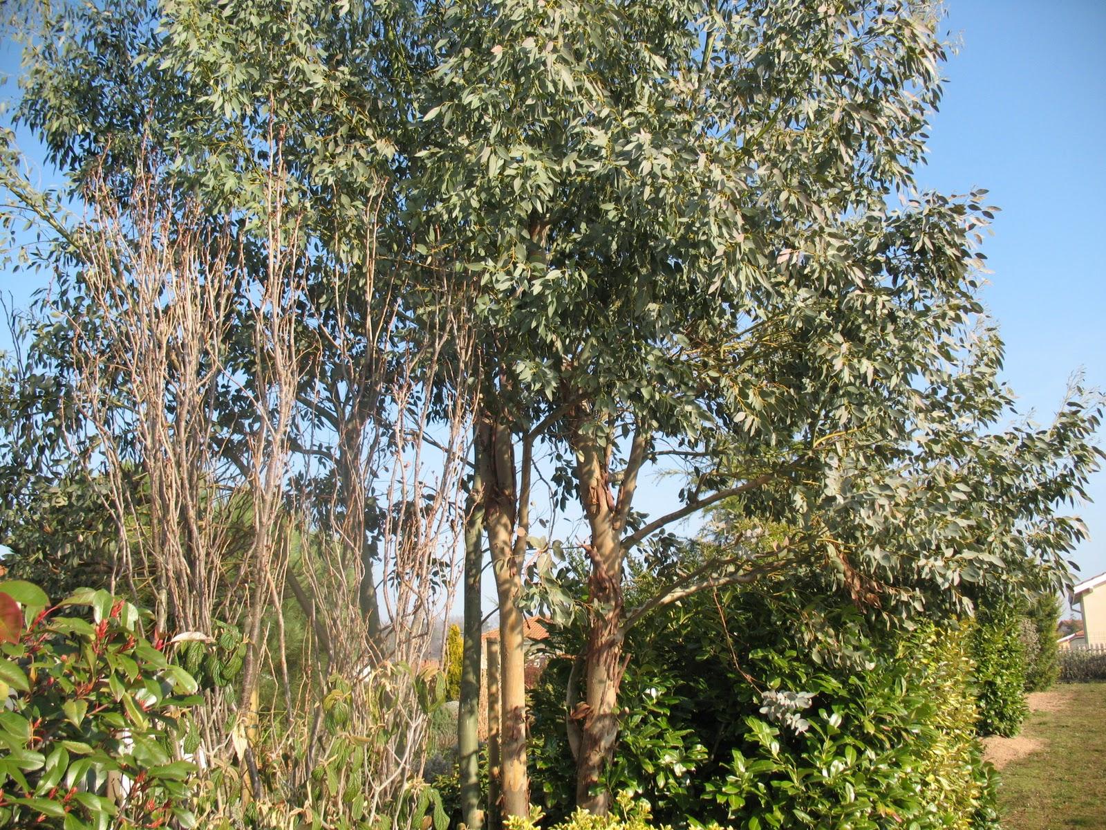 Roses Du Jardin Ch Neland Eucalyptus Gunnii