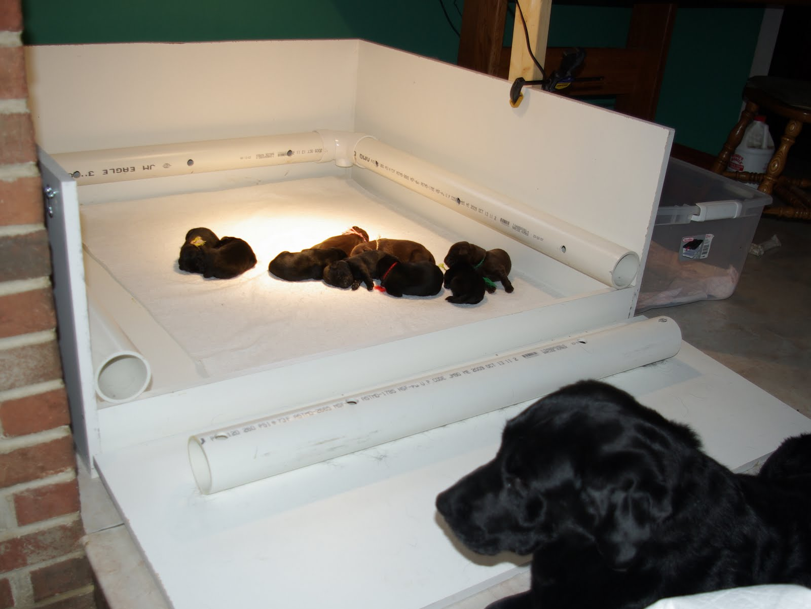photo How to Whelp Large Breed Dogs