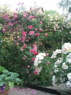 Roses Pink Cloud et Sourire d'Orchidée