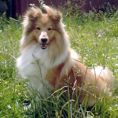 Shetland Sheepdog Loyal Breeds
