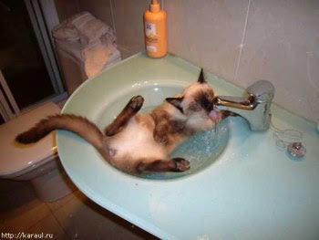 The cat washes in a wash-bowl.