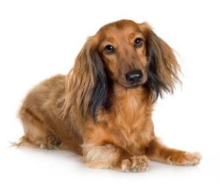 Duchshund pelo largo