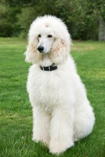 Poodle blanco
