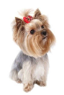 Yorkshire Terrier fotos